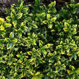Euonymus-japonicus-micr-Aureovariegatus- at beechmount garden centre
