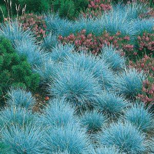 Festuca glauca 'Intense Blue' at beechmount garden centre