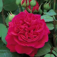 Rosa 'Tess Of The d'Urbervilles' at beechmount garden centre