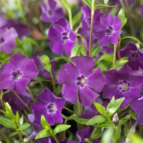 Vinca minor 'Atropurpurea' at beechmount garden centre