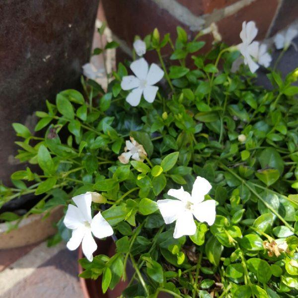 Vinca minor f. alba at beechmount garden centre