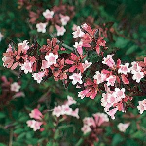 abelia-grandiflora at beechmpount garden centre