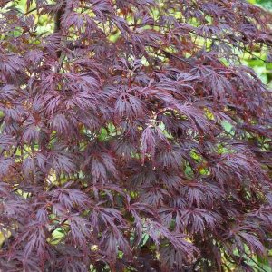acer-palmatum-dissectum-atropurpureum at beechmount garden centre