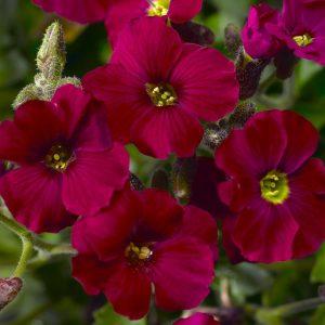 aubrieta axcent burgundy at beechmount garden centre