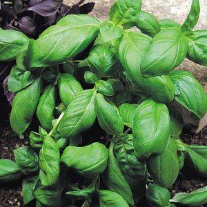 basil sweet green start a garden at beechmount garden centre