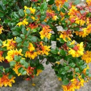 berberis-darwinii-nana at beechmount garden centre