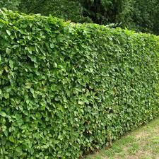 carpinus hedging at beechmount garden centre
