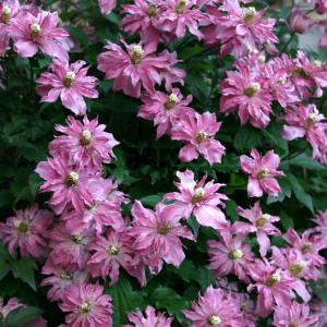 clematis-montana-broughton-star at beechmount garden centre