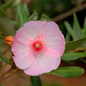 eucryphia pink cloud at beechmount garden centre