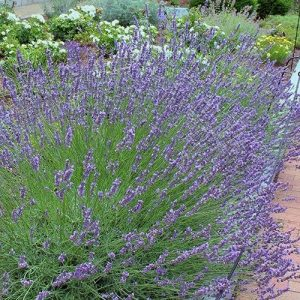 lavandula-phenomenal at beechmount garden centre