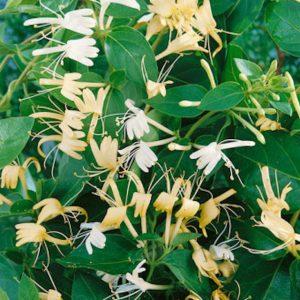lonicera halliana at beechmount garden centre