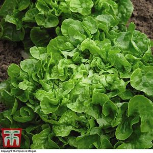 organic lettuce red and green salad bowl at beechmount garden centre