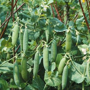 pea kelvedon wonder start a garden at beechmount garden centre