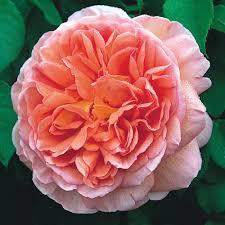 rosa abraham darby at beechmount garden centre