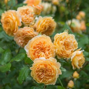 rosa crown princess margareta AT BEECHMOUNT GARDEN CENTRE