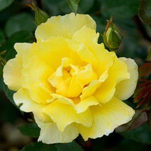rosa golden showers at beechmount garden centre