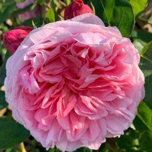 rosa saint swithun at beechmount garden centre