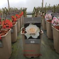 rosa with love at beechmount garden centre