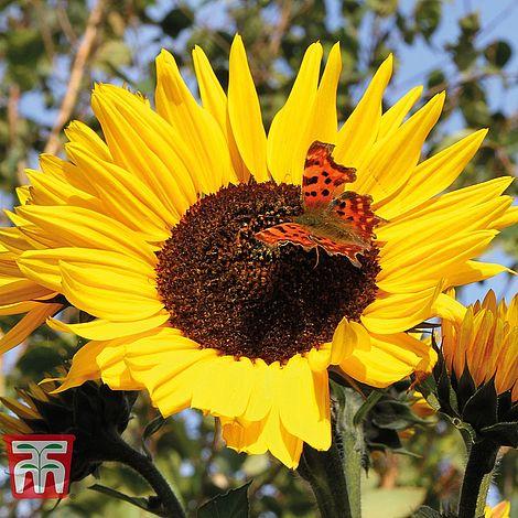 sunflower russian giant start a garden at beechmount garden centre