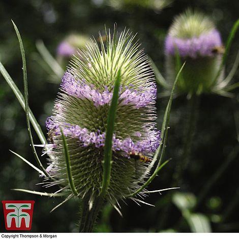 wildflower teasel at beechmount garden centre