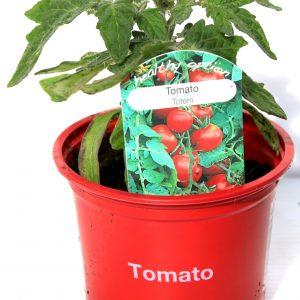 totem tomato at beechmount garden centre