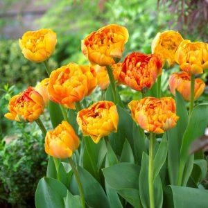 double tulip sunlover at beechmount garden centre