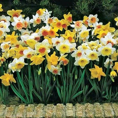 mixed daffodils at beechmount garden centre