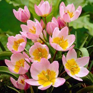 tulip bakeri lilac wonder at beechmount garden centre