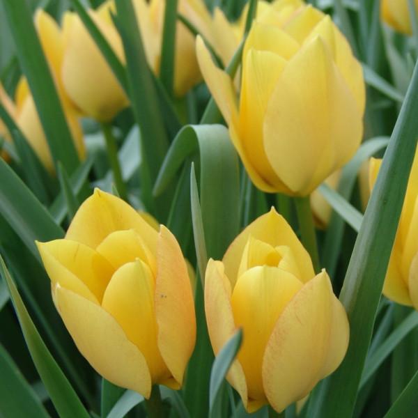 tulip bright gem at beechmount garden centre