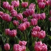 tulip mamma mia at beechmount garden centre